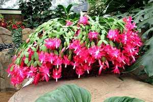 цветок декабрист цветет