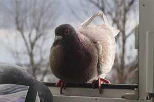голубь сел на подоконник