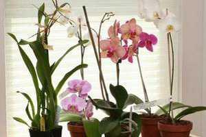 примета о орхидее в доме