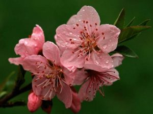 Цветок романтики по фен-шуй