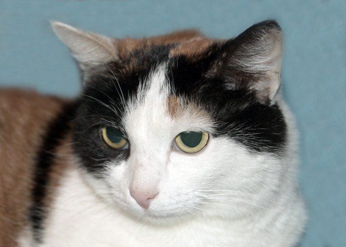 Приметы о трехцветной кошке