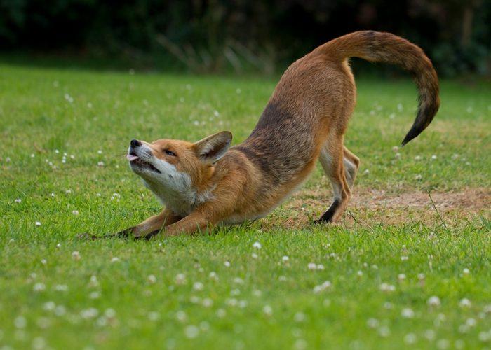 Что, если лиса перебежала дорогу?