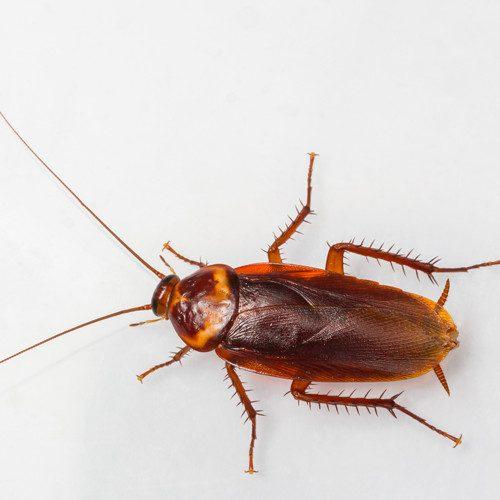 К чему завелись тараканы?