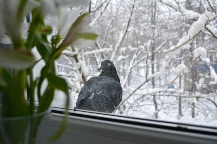 Что, если голубь стучит в окно?