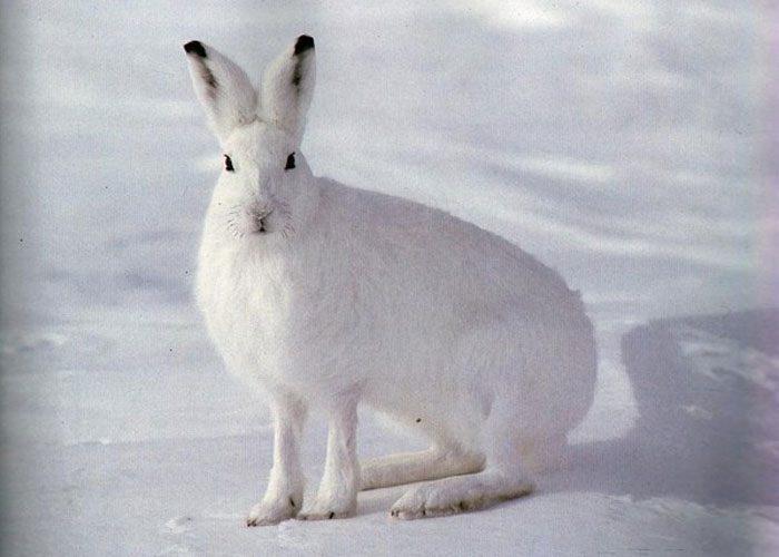 Встретить белого зайца