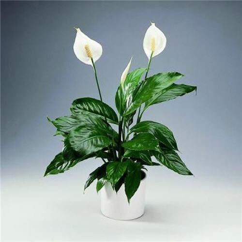 Примета о цветке Женское счастье