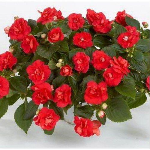 Приметы про цветок Ванька