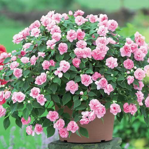 Можно ли дома держать цветок ванька мокрый