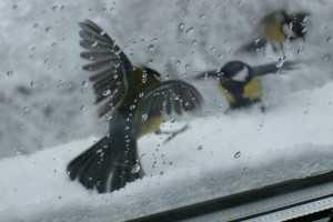 птица стучит в мокрое окно