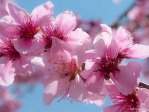цветок персика по фен-шуй