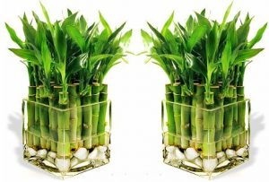 Значение стеблей и место расположения растения счастья