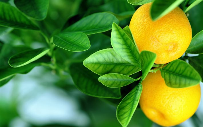 Лимон по фэн шую