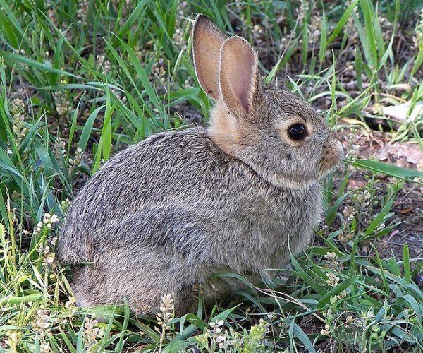 Примета: встретить зайца