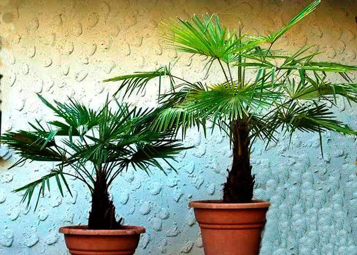 Приметы про пальмы дома