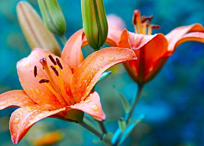 Легенды о лилиях
