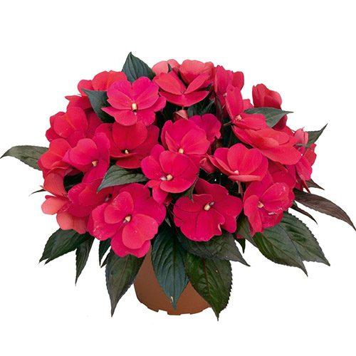 Где разместить цветок Ванька мокрый?