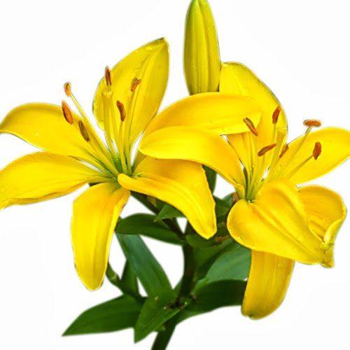 Приметы про желтые лилии